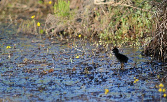 Poussin de Râle d'eau (Rallus aquaticus), aperçu le 23 juillet 2015, vers 20h, le long du sentier de découverte. © Thierry Wattez